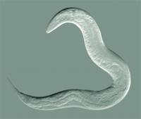 Pinhead-size worms + robot = new antibiotics