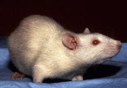 High-fat diet affects physical and memory abilities of rats after 9 days