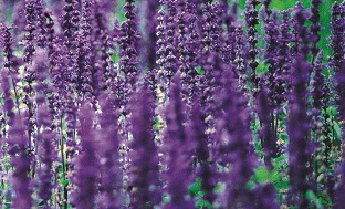 Lavender an Evergreen and Fragrant Shrub Native to Southern Europe