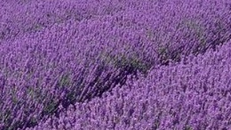 Lavender for Culinary Use to Sweeten the Kitchen