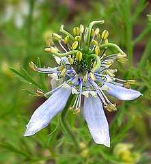 Nigella sativa (black seed)