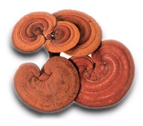 Reishi Mushroom - The Medicine of Kings