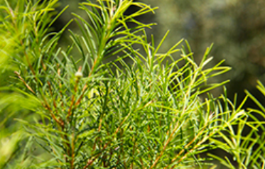 TEA TREE OIL- A Remarkable Healing Agent