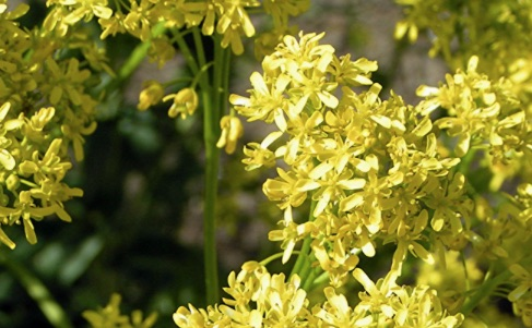 What is the Plant Woad Used For?