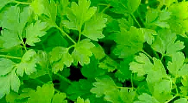Chervil a flavor catalyst among other Herbs
